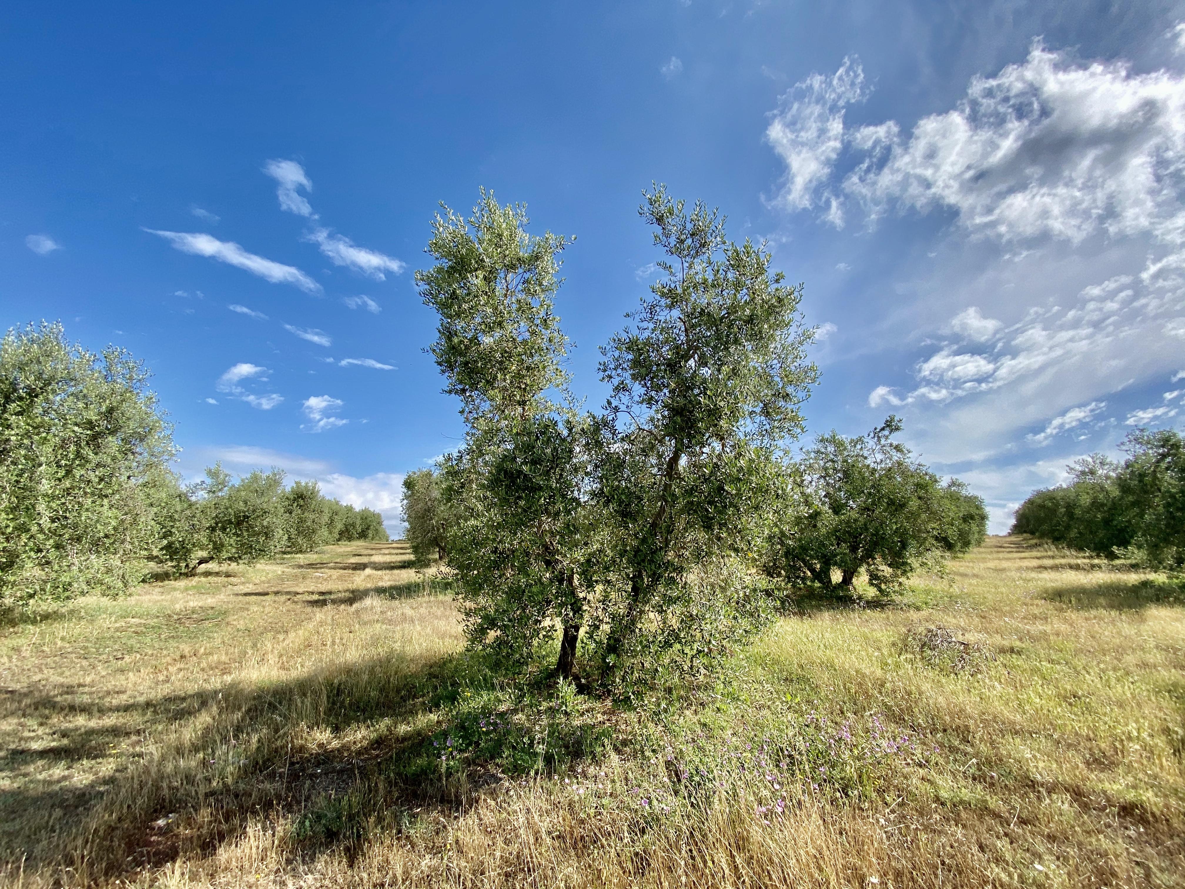 Olivo adottato da Turconi Lorella come regalo da Anna Rizzi