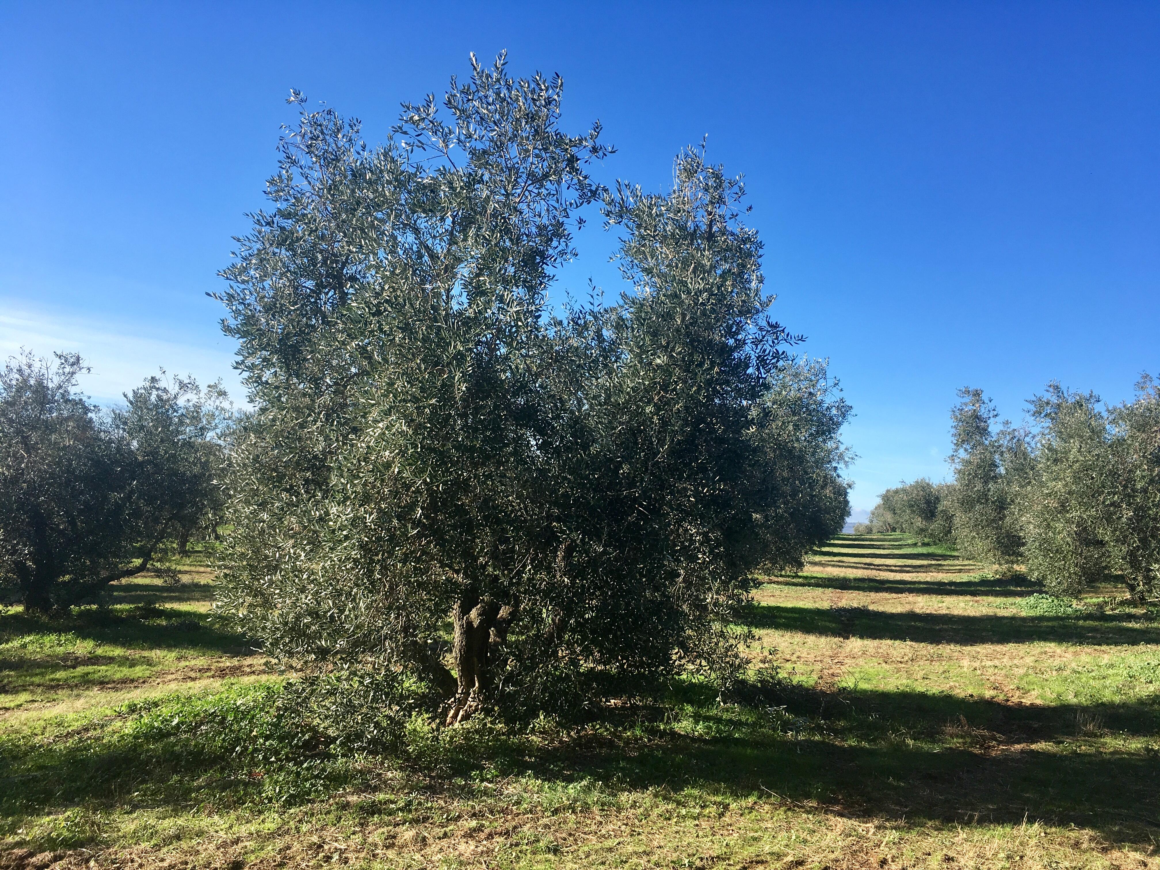 Adottato da Paolo Corizzoni, l'albero si chiama OLLIE